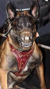 military german shepherd titanium teeth. Fine German I So Need One Of These My Gsd Is Gentle This Would Be Such An  Oxymoron On Him LMAO  And Military German Shepherd Titanium Teeth