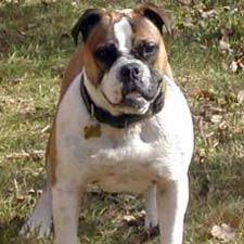 Olde English Bulldog Weight Chart Facts About The Olde English Bulldogge Dog Breed