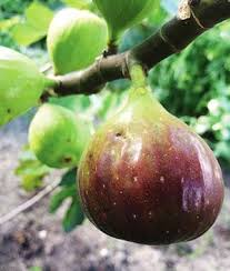 How To Grow Mango Trees In Texas  HunkerFruit Trees For Central Texas