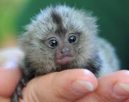 really cute baby animals pictures. Baby Marmoset Inside Really Cute Animals Pictures