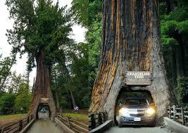 chandelier tree redwood national park chandelier tree redwood drive thru tree park chandelier drive thru redwood