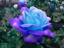 """Képtalálat a következőre: """"blue rose tumblr"""""""
