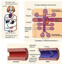 Реферат Система кровообращения и ее заболевания com  Система кровообращения и ее заболевания