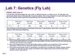 mendelian genetics fruit fly lab report