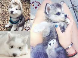 cute husky puppies that you will love