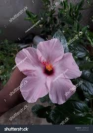 Light Pink Hibiscus Light Pink Hibiscus Flower Stock Photo Edit Now 1143991472