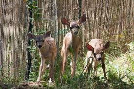 Fawn Age Chart Understanding Deer Native Animal Rescue