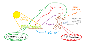 sugars from plants provide the energy for us to move via atp produced in respiration