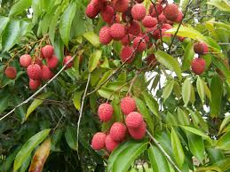 Image result for litchi