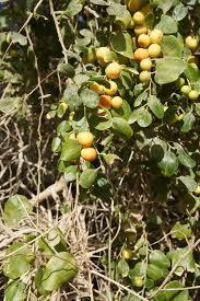 Ziziphus Lotus  WikipediaLotus Fruit Tree