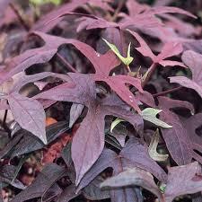 purple sweet potato plant. Plain Purple Blackie  Sweet Potato Vine Ipomoea Batatas For Purple Plant I