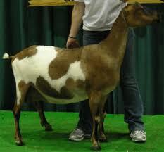 Breeds Of Dairy Goats Lamancha
