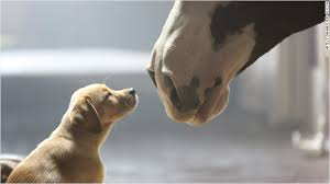 budweiser clydesdales get a puppy for