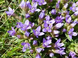 Gentianella campestris (L.) Börner subsp. campestris - Portale alla ...