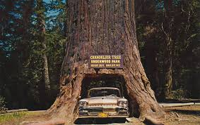 chandelier tree california chandelier tree of the redwoods park by the cardboard archives chandelier tree california