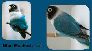 African Love Birds Classification And Type Of Color