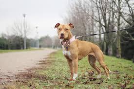 Biete hier ein neues pit bull american staffordshire terrier deko kissen in ca: American Pit Bull Terrier Charakter Haltung Pflege Rassebeschreibung
