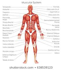Muscle Anatomy Photos 105 137 Muscle Stock Image Results