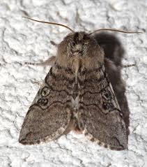 False owlet moths