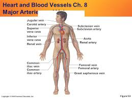 Major blood vessels of the body. Copyright C 2009 Pearson Education Inc Heart And Blood Vessels Ch 8 Major Arteries And Veins Figure 8 9 Subclavian Artery Subclavian Vein Jugular Vein Ppt Download