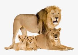 lion lioness and cubs transpa png
