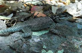 For Lizards Climate Change Is A Deadly And Complex Threat
