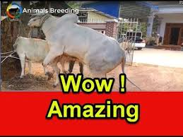 bulls and cows mating.  Bulls Amazing Breeding Big Bull And Small Cow  How To Mating Cow   For Bulls And Cows Mating G