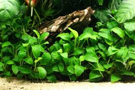 Low Light Cold Water Aquarium Plants Pets And Rants Good Cold Water Plants For Your Axolotl Tank
