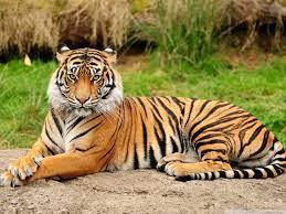 57+] Beautiful Tiger Desktop Wallpaper ...
