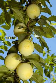RabbitRidgeNurserycomPlum Fruit Tree Varieties