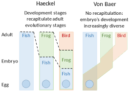 Von Baers Laws Embryology Wikipedia