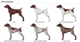 German Shorthaired Pointer Puppy Weight Chart German Shorthaired Pointer An Active And Popular Breed In