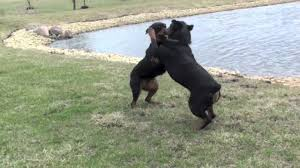 rottweiler dog vs pitbull. rottweiler dog vs pitbull