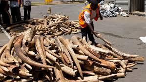 ivory s tragic