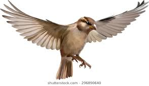 flying sparrow clipart. Delighful Flying Flying Sparrow On A Blurred Background On Sparrow Clipart W