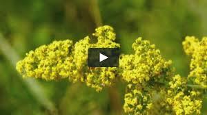 Lady's bedstraw - Galium verum on Vimeo