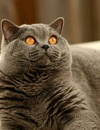 british shorthair blue. Delighful Shorthair A Fully Mature British Blue Male Showing The Characteristic Heavy Jowls  And Unique  Inside Shorthair Wikipedia