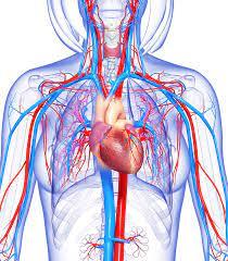 Circulatory system | healthdirect
