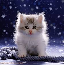 cute fluffy kittens. Perfect Kittens Cute Fluffy Silverandwhite Kitten 7 Weeks Old With Rope And Intended Fluffy Kittens A