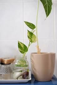jewelpie money plant