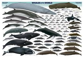 Whale Size Chart Pin On Killer Whales
