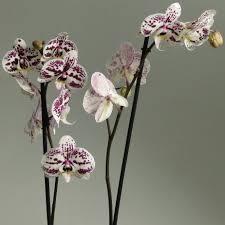 орхидеи орхидея фаленопсис Tattoo 2 ст