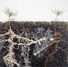 Belowground Plant-Plant Interaction by Common Mycorrhizal Network (CMN)