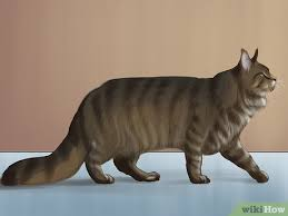 3 Ways To Identify A Maine Coon Wikihow