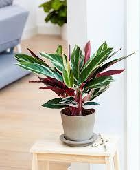 Stromanthe Light Stromanthe Trio Star Plants Easy House Plants Bathroom