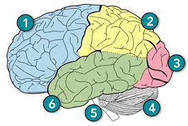 1 the frontal lobe is most often ociated with personality moods motor function and decision making