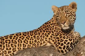 Image result for leopard