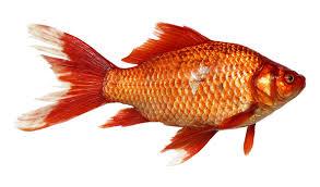 transparent background. Unique Transparent Goldfish Carp Fish Transparent Background To A