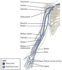 Leg Vein Chart Circulatory Pathways Anatomy And Physiology Ii