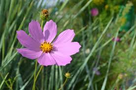 average american flower size cosmos how to plant grow and care for cosmos flowers the old